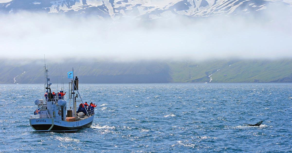 Valskådning i Husavik Island (Foto: Göran Ingman)